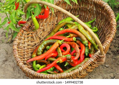 Organic red peppers pickling on a wicker basket in the garden .