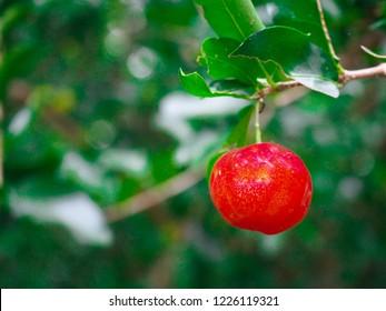 Organic red Thai cherry. Acerola cherry