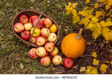 Organic ripe fruit in basket in autumn garden. Fresh apples and pumpkin in nature.