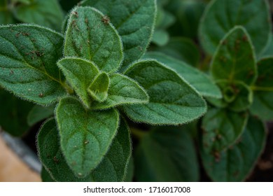 Organic seasoning. Greek oregano plant. Landscape orientation.