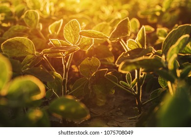 Organic soybean field in sunset, selective focus