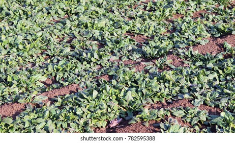 Organic spinach field growing in the sea breeze.