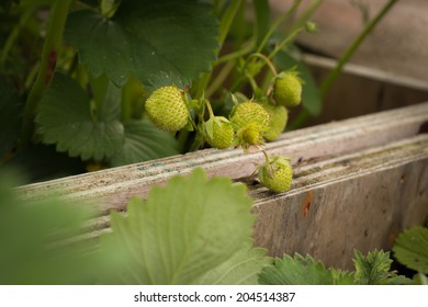 Organic still green strawberries growing in the box in the garden.