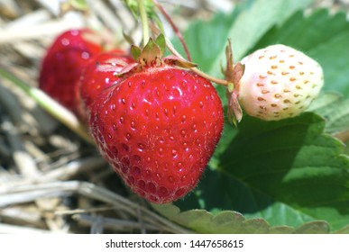 organic strawberries field natural fruits berries close-up