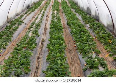Organic strawberry plant growing in green house