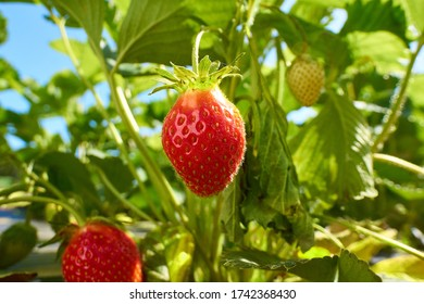organic strawberry at the plantation