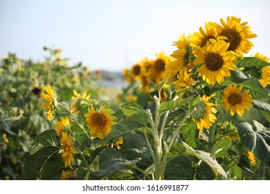 Organic Sunflowers Regenerative Agriculture Australia