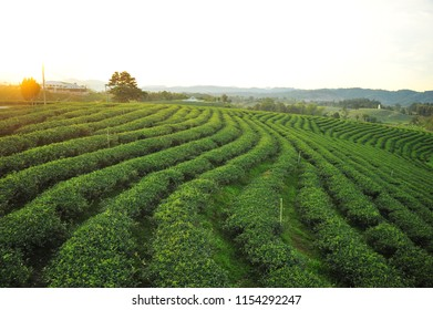 Organic Tea Cultivation on The Hill