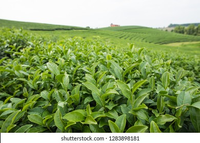 Organic tea growth in highland