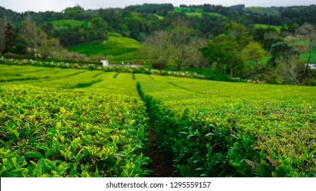 Organic tea plantation in Azores, Europe at Gorreana; black orange pekoe tea; che