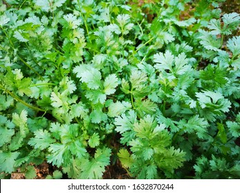 Organic thai coriander cilantro herb sprouts. Health benefits. Coriander is loaded with antioxidants. fresh green coriander leaves vegetable in a garden. fresh green coriander plant growing close