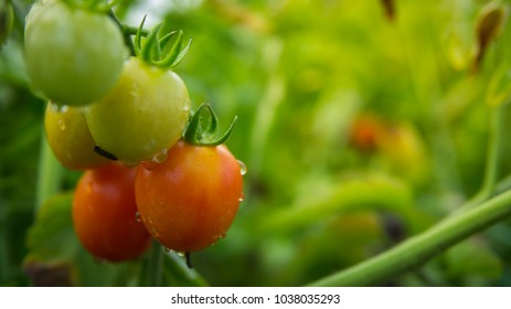 Tomatoes Production Images, Stock Photos & Vectors