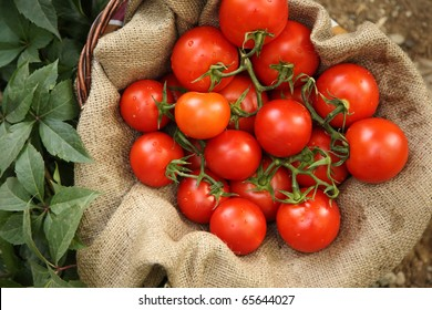 Organic tomatoes on a natural background