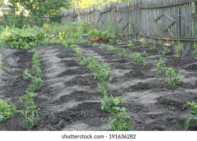 Organic tomatoes planted in a garden bed in the village.