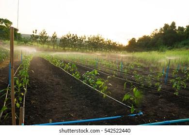 Organic vegetable cultivation garden.