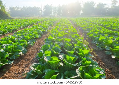 organic vegetable garden,future agriculture for safety food in Thailand