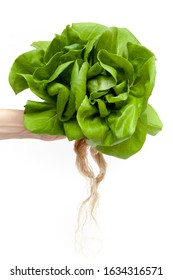 Organic Vegetable hydropronic planting for cooking salad and healthy foods. Green Butterhead lettuce on white background isolated.