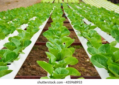 organic vegetable in the rural farm with Hydroponics growing  system