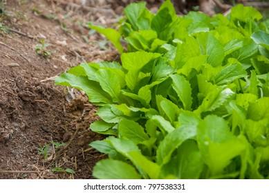 organic vegetable, organic vegetable in Thailand