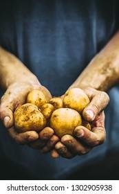 Organic vegetables. Farmers hands with freshly harvested vegetables. Fresh bio potatoes. Ornaic potatoes