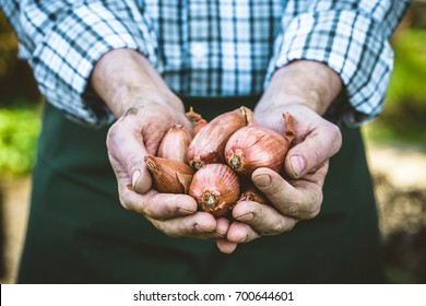 Organic vegetables. Farmers hands with freshly harvested vegetables. Fresh organic onions