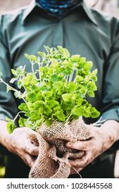 Organic vegetables. Farmers hands with herbs. Fresh organic  herbs.