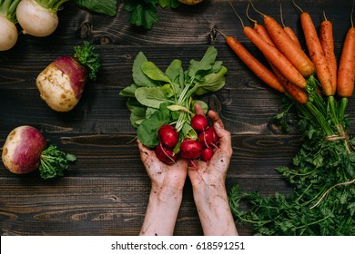 Organic vegetables. Farmer's hands holding harvested radish on the dark wooden background, top view.