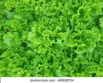 Organic vegetables. Fresh vegetable. Lettuce for making a salad.