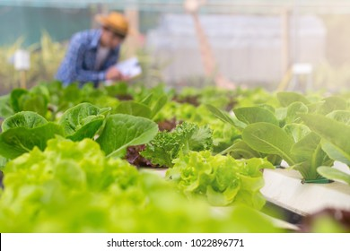 Organic vegetables are grown in farm grown by farmers. organic farmer monitoring their organic  to develop organic grown vegetables.