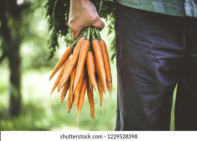 Organic vegetables. Healthy food. Fresh organic carrots in farmers hands