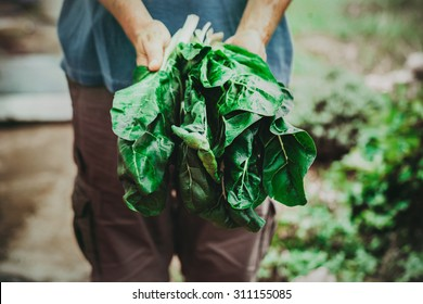 Organic vegetables. Mangold in farmers hands