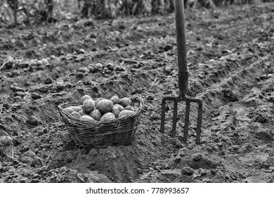 Organic vegetables on the field. The farmer keeps the collected vegetables, potatoes in a basket. Countryside