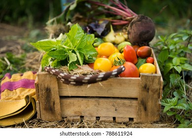 Organic vegetables in wooden box - tomatoes, cucumbers, beetroot, greens and herbs. Autumn harvest and permaculture concept.
