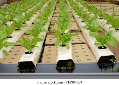 Organic Vegetation Growing  The Hydroponic Way