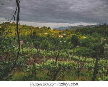 Organic vineyard in Georgia on a cloudy day (Imereti region). Food and wine travelling in Georgia