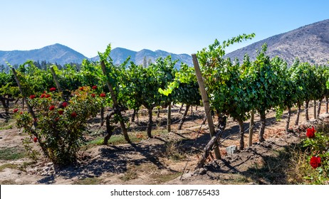 Organic vineyard located in the Maipo valley in the area around Santiago de Chile, sunny day, beautiful landscape
