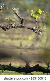Organic vineyard in McLaren Vale, Australia