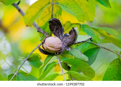 Organic walnut tree with ripe walnut exposed from his outer shell, soon will fall down or can directly be harvested by the farmer. Close up with selective focus during fall.