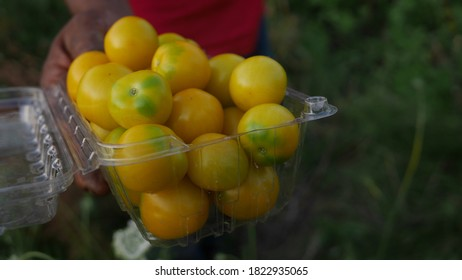 Organic yellow small tomatoes held in farmer's hand