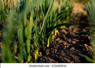 organically cultivated garlic plantation in the vegetable garden. Small sapling of garlic. Garlic Plants on a Ground. Early garlic plants on a ground in spring close up.