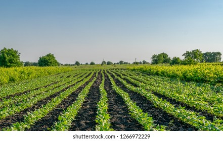 Organically cultivated kidney bean seedlings in a field, depicting kidney bean growing
