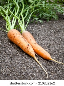 Organically grown delicious fresh Nantes Coreless carrots just pulled from the garden soil and laid on concrete