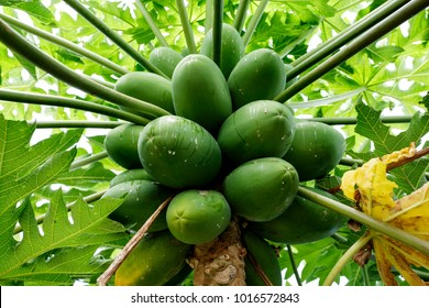 Organically grown yellow Pawpaw, carica papaya, tree and green fruit on a house backyard in Redcliife, Queensland, Portugal