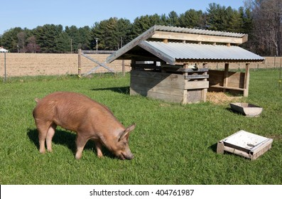 An organically raised free range Tamworth pig grazes on grass on a small farm in Maryland.