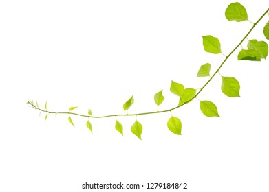 Oriental bittersweet (Celastrus orbiculatus) vine isolated on white background.