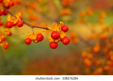 Oriental bittersweet explodes open at autumn. colorful yellow and red berries