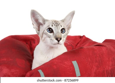 Oriental Blue-point Siamese cat lying in red sofa