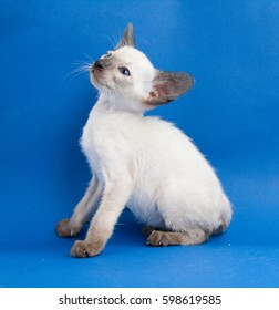 Oriental blue-point Siamese kitten on blue background
