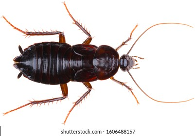 The oriental cockroach (Blatta orientalis), also known as the waterbug or black beetle, is a species of cockroach. Cockroach isolated on white background. Dorsal view of the female oriental cockroach.