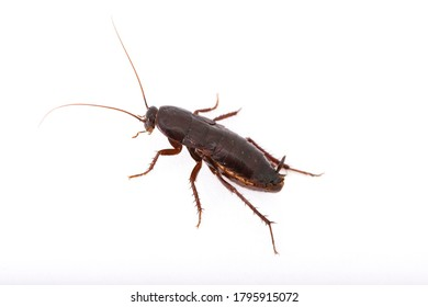 Oriental cockroach  and white background